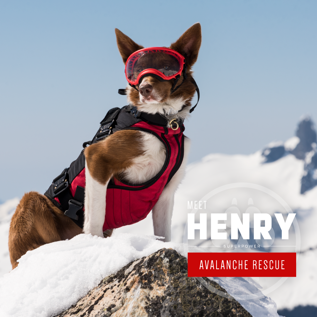 A brown and white dog named 'Henry' wearing skiing gear.