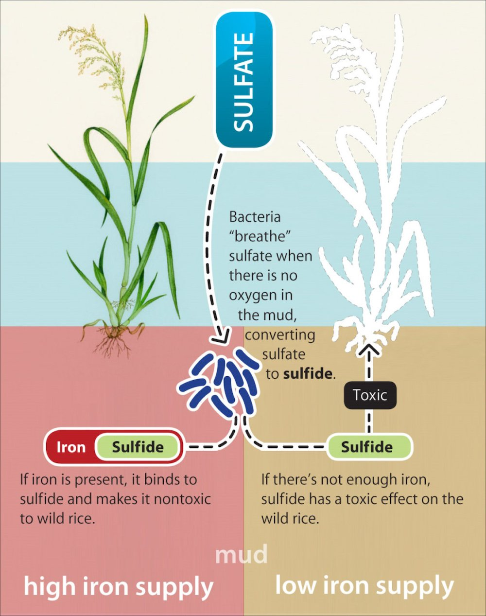 How sulfate is toxic to wild rice (figure courtesy of MPCA)