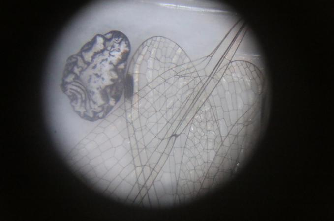 Microscopic view of a dragonfly wing.