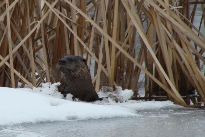 River otter in Taylor Pond